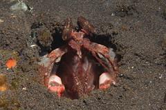Tulamben muck diving (cathm2) Tags: indonesia bali tulamben diving scuba underwater nature wildlife