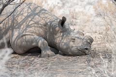 DSC_3824.JPG (manuel.schellenberg) Tags: namibia animal etosha nationalpark blackrhino rhino