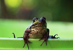 F for Friendly Forest Frog ( Explored ) (francepar95) Tags: macromondaysthefirstletterofmyname grenouille forest étang hmm verte bokeh vivante filet attraper frog pond green alive tocatch lettref net