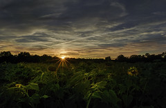 Sunflower Farm Sunset (zuni48) Tags: sunset sunflowerfarm jarrettsville maryland landscape sunrays clouds lightpainting zunikoff clearmeadowfarm sundown