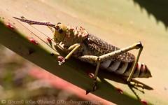 Locust (STAFF.PAUL) Tags: locust southafrica african animalplanet nationalgeographicwildlife thisphotorocks macro outside canon canon7d canonl100400 planetearth