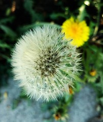 DANDELIONS WHICH CAME FIRST NOW TOGETHER (Visual Images1) Tags: dandelion