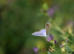 colori nell'aria... (andrea.zanaboni) Tags: farfalla butterfly macro nikon colori colors blu verde green nikonflickrtrophy