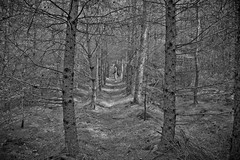 Lanchester, County Durham. (CWhatPhotos) Tags: pictures camera wood trees white black tree monochrome pine digital forest canon dark that lens eos photo foto image zoom photos small grain picture taken images have fotos 7d usm dslr which ef 1740mm f4 ratterrier contain lseries f4l cwhatphotos