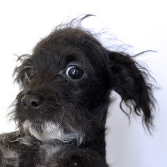 Jenna the 13 week old Chihuahua/Poodle/Dachshund (Immature Animals) Tags: rescue baby white chihuahua black cu