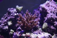 hard corals (Amal FM) Tags: coral aquarium underwater hard corals saltwater staghorncoral