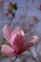 "Pink Magnolia • <a style=""font-size:0.8em;"" href=""http://www.flickr.com/photos/54958436@N05/7779365022/"" target=""_blank"">View on Flickr</a>"