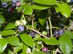 "Blueberry Cluster • <a style=""font-size:0.8em;"" href=""http://www.flickr.com/photos/54958436@N05/7779372210/"" target=""_blank"">View on Flickr</a>"