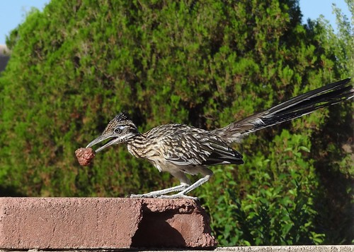 "Spike, the young roadrunner • <a style=""font-size:0.8em;"" href=""http://www.flickr.com/photos/10528393@N00/7789180526/"" target=""_blank"">View on Flickr</a>"