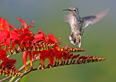 Anna's Hummingbird and Crocrosmia 3 (janruss) Tags: flower bird floral hummingbird ngc hummer avian annashummingbird supershot thegalaxy avianexcellence crocrosmia janruss janinerussell coth5 sunrays5