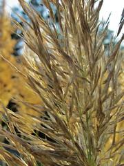Happy Bokeh Wednesday! (karma (Karen)) Tags: houses yards light plants texture shadows dof bokeh beaches grasses delaware macros bushes middlesex pampasgrass hbw cmwdyellow bokehwednesdays