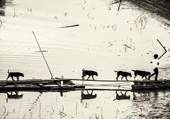 (Nathan A Rodgers) Tags: bridge dog lake dogs nature animal animals fauna thailand footbridge lakes bamboo countries thai 2012 sanghklaburi kanchanaburiprovince vajiralongkornlake