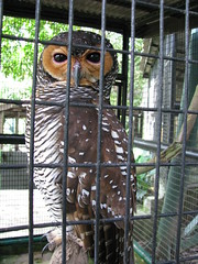 raptor malaysia owl kualalumpur strigiformes klbirdpark kualalumpurbirdpark buffyfishowl walkinaviary tamanburung kllakegardens worldslargestcoveredaviary