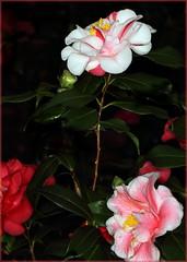 Camellia japonica cv. Lady Vansittart (variegated) (sandy richard) Tags: gardens longisland plantingfields plantingfieldsarboretum sandyrichard sandrarichard