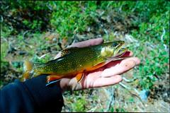Bigger brookie (charlesmonroe98) Tags: camping easter fishing pond hiking nevada sierra beaver hwy brook trout 395
