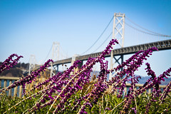 the bay bridge (thermophle) Tags: sanfrancisco california bridge flowers oakland bay baybridge