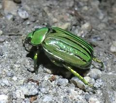 1208 Jewel Scarab - Chrysina gloriosa (c.miles) Tags: santacatalinamountains jewelscarab chrysinagloriosa