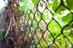 {hff} Back in the Hood (soupatraveler) Tags: philadelphia leaves fence outside outdoors bokeh vine philly manayunk philadelphiaphotographer fencefriday soupatraveler hollyeclark hollyclarkphotography wwwhollyclarkphotographycom hollyclarkphoto