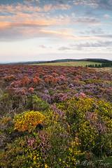 Quantock Heather (etunar) Tags: summer landscape purple heather somerset quantocks goldenlight quantockhills wwwesentunarcom