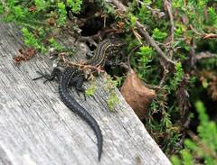 Baby common lizard (niknok2007...) Tags: wood wild summer baby sun nature bug warm post reptile wildlife yorkshire young september lizard hatfield moors common youngster 2012 commonlizard niknok2007