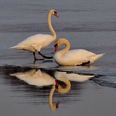Mute Swans sitting on Ice......... (l_dewitt) Tags: winter reflection ice water connecticut newengland muteswan muteswans muteswansphotos