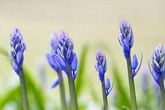 Bluebells all in a row (aussiegall) Tags: flowers bluebells garden spring blossoms buds septemper