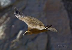 Buitre-vulture (Roberto C.M.) Tags: bird vulture pajaro monfrage buitre vuelo extremadura caceres carroero
