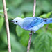 Blue-grey Tanager (Ann & Walter Burns)