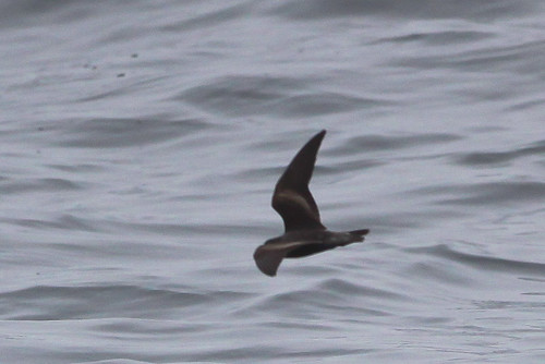 <p>We have been seeing Ashy Storm-Petrels regularly on our trips, and sometimes quite close allowing for good studies. They are all dark, but show a slightly more grayish rump. They are shorter winged and narrower winged than the Black Storm-Petrel. Ashy has a bat like flight, very different to that of the Black Storm-Petrel. </p>