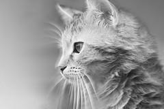 Charlize (alenevaa) Tags: portrait blackandwhite bw cute beauty cat fluffy dreamy siberian siberiancat charlize simplybeautiful bestofcats  coppercloudsilvernsun blinkagainfrontpage bestofblinkwinners blinksuperstars alenevaa ultramicronikkor125mmf28 fluffybeauty
