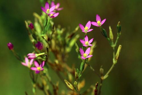 En las dunas de Laredo: Centaurium