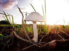 Infected mushroom (amira_a) Tags: nature mushroom field sunshine canon powershot soil fungus funghi s95