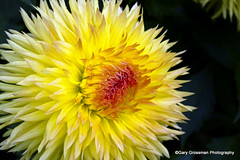 Sunshine On Cloudy Day (Gary Grossman) Tags: dahlia flower sunshine oregon bright joy sunny latesummer sunshineonacloudyday