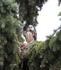 Swainson Hawk (K Fletcher) Tags: canada calgary bird hawk raptor alberta swainson