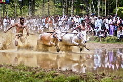 Bull Racing in Kerala - Photo 1 (Anoop Negi) Tags: india sports race rural grit polaroid p