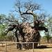 Boab Prision Tree