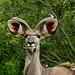 Elegante Kudu