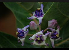 Milkweed flower. (vanila balaji) Tags: india flower canon eos flora bangalore karnataka southindia arka vanila milkweedflower erukkampoo canon550d vanilabalaji eruku jilladi flowerofferedtolordganesha