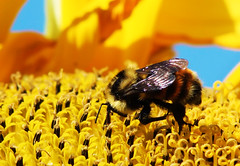 Bumble Bee Close Up (Joe-Lynn Design) Tags: summer flower bee bumblebee sunflower prairie