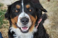 Bernersennenhund Fritzi