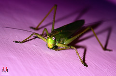 Grass Hopper! (Hassan Mohiudin) Tags: grass purple angry hopper