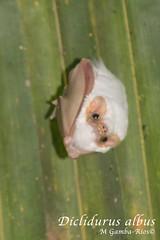 Diclidurus albus