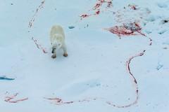 Polar Bear with Tracks (janet little) Tags: ocean bear sea ice arctic polarbear polar vavilov