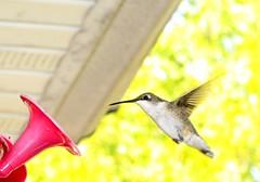 hummer (frankieleon) Tags: motion flying interestingness interesting bestof hummingbird feeding eating flight drinking cc creativecommons popular frankieleon