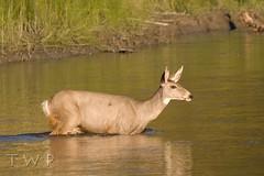 Ford (WanderWorks) Tags: deer canada alberta stream river cross crossing bank grass green deep    cerf ciervo  takbokke  hirsch    kanada  canad    dsc5806wbdlc2ghrpng