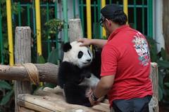 10-month-old (almost) Nuan Nuan () 2016-06-16 (kuromimi64) Tags: zoonegara malaysia   zoo nationalzoo zoonegaramalaysia kualalumpur  bear   panda giantpanda     fengyi  liangliang nuannuan