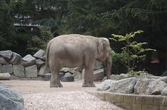 Elefante indiano (querin.rene) Tags: renquerin qdesign parcolecornelle parcofaunistico lecornelle animali animals elefanteindiano elefante india asia
