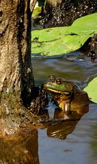 Bullfrog (Little sista) Tags: belted fisher twelve spotted green frog