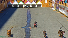 Wiener Dog Races 2016 Pdx Oregon (dog97209) Tags: wiener dog races 2016 pdx the river pig saloon hosted packed street for excitement benefit rescue