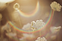 """""""Come with me, where dreams are born, and time is never planned"""" ~Peter Pan~ (Sandra H-K) Tags: queenanneslace weeds summer summertime sunshine sunflare lensflare sunny sunlight soft serene softfocus rainbow nature outside ontheground outdoors bright helios402 backlit"""